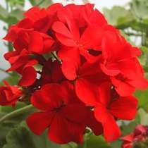 Герань красная,молодое растение, в г.Москва