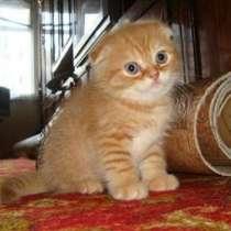 Рыжий вислоухий котик, в г.Санкт-Петербург