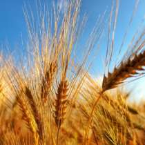 Куплю пшеницу, в Стерлитамаке
