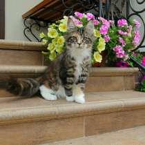 Клубные котята Мейн Кун, в г.Москва