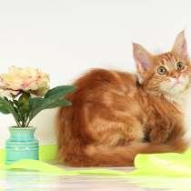 Кошечка красный мрамор с белым мейн-кун, в Москве