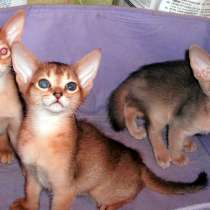 Абиссинские котята, в Москве