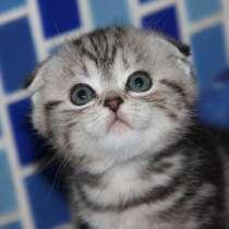 Мраморные котята вислоухие, в Санкт-Петербурге