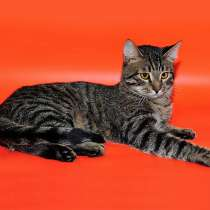 Господин Суперпозитив Кевин,молодой домашний полосатый котик, в Москве
