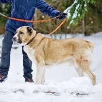 Благородный Босс, молодой пес породы алабай в добрые руки, в г.Москва