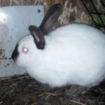 Крольчиха колифорнийкий 5 мес, в г.Омск