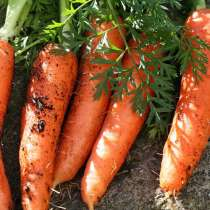 Продам крупную морковь сорт- русский великан, в г.Волоколамск