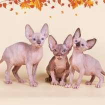 Милое, трогательное существо-котёнок сфинкс., в г.Ганновер