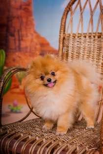Шпиц померанский щенок в Сочи, в Сочи