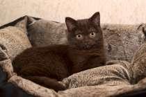 Клубные котята питомника''sweettoy, в Москве