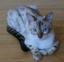 Бенгальский кот снежок, в Екатеринбурге
