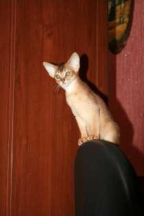 Абиссинские котята, в Саратове