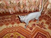 Очень добрый, милый котик Донского сфинкса, совершенно лысый, в г.Витебск