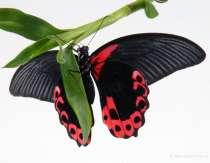 Живая бабочка к 8 марта!, в Анапе