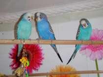 Волнистые попугаи(от Заводчика, самки), в Мытищи