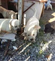 Продам щенков Лабрадора-Ретривера, в Хабаровске