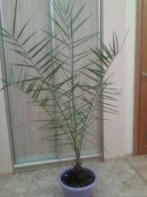 Продается живая, комнатная финиковая пальма, в Санкт-Петербурге