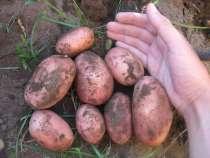 Картофель продовольственный оптом, в Чебоксарах