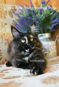 Котята мейн-кун из питомника, в Костроме