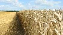Семена пшеницы Гром, Таня, Баграт, Бригада, Лебедь, в г.Гулькевичи