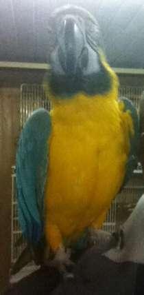 синежелтый ара, в Москве