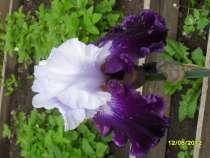 Продаю ирисы, лилейники, флоксы, многолетние разные растения, в Александрове