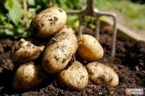 Продам деревенский картофель, в Волоколамске
