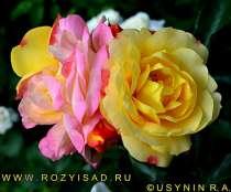 Саженцы роз почтой по РФ, в Москве