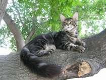 Продам котят породы мейн-кун, в Новосибирске