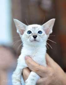котята сиамские, в Челябинске