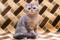 шотландский котенок-мальчик, в Саратове