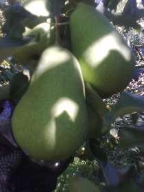 Саженцы плодовых и декоративных растений , в Коломне