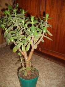 Продам денежное дерево (толстянка), в Саратове