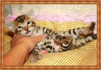 бенгальские котята, в Краснодаре