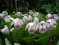Венерины башмачки-орхидеи для сада, в г.Витебск
