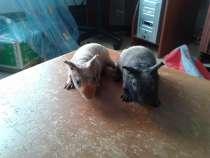 морская свинка породы скинни, в Хабаровске