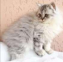Плюшевые британские котята, в Краснодаре