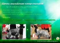 щенки Английского кокер-спаниеля, в Новосибирске