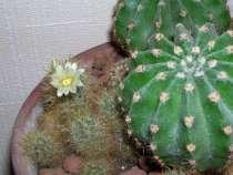 Цветы: кактусы, в Ростове-на-Дону