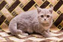 чистокровный британский котенок, в Саратове
