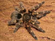 Продам паука, в Иркутске