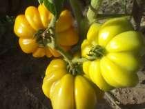 Семена высокоурожайных сортов томатов собственного сбора, в г.Витебск