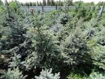 Саженцы декоративных садовых растений, в Оренбурге