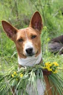 Щенки басенджи, африканской нелающей собаки, в Воронеже