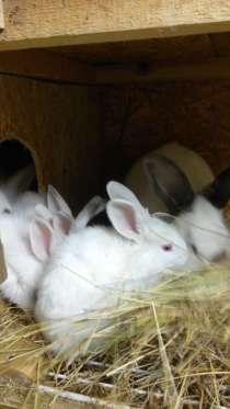 кролики бел. великан, калифорнийцы, сер. великан, золотые., в Коломне