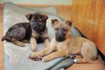 щенки для охраны дома, в Иркутске
