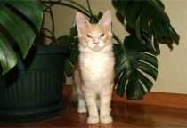 Кошка породы Мейн-Кун, в Ростове-на-Дону