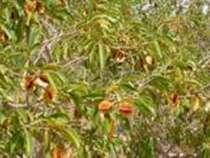 Кинкелиба. Чай здорового долголетия. Продукт из Африки, в г.Дакар