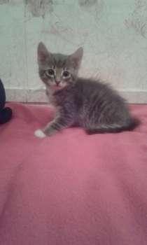 Дымчатый котенок, в Омске