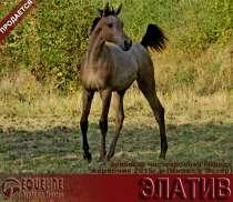 Продается арабский жеребчик ЭЛАТИВ, в Абинске